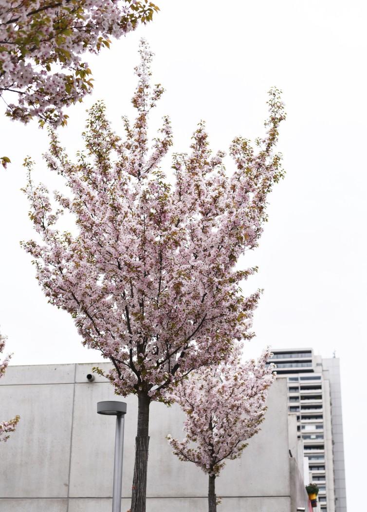 fashiioncarpet-kirschblüten-baum-münchen-olympiapark