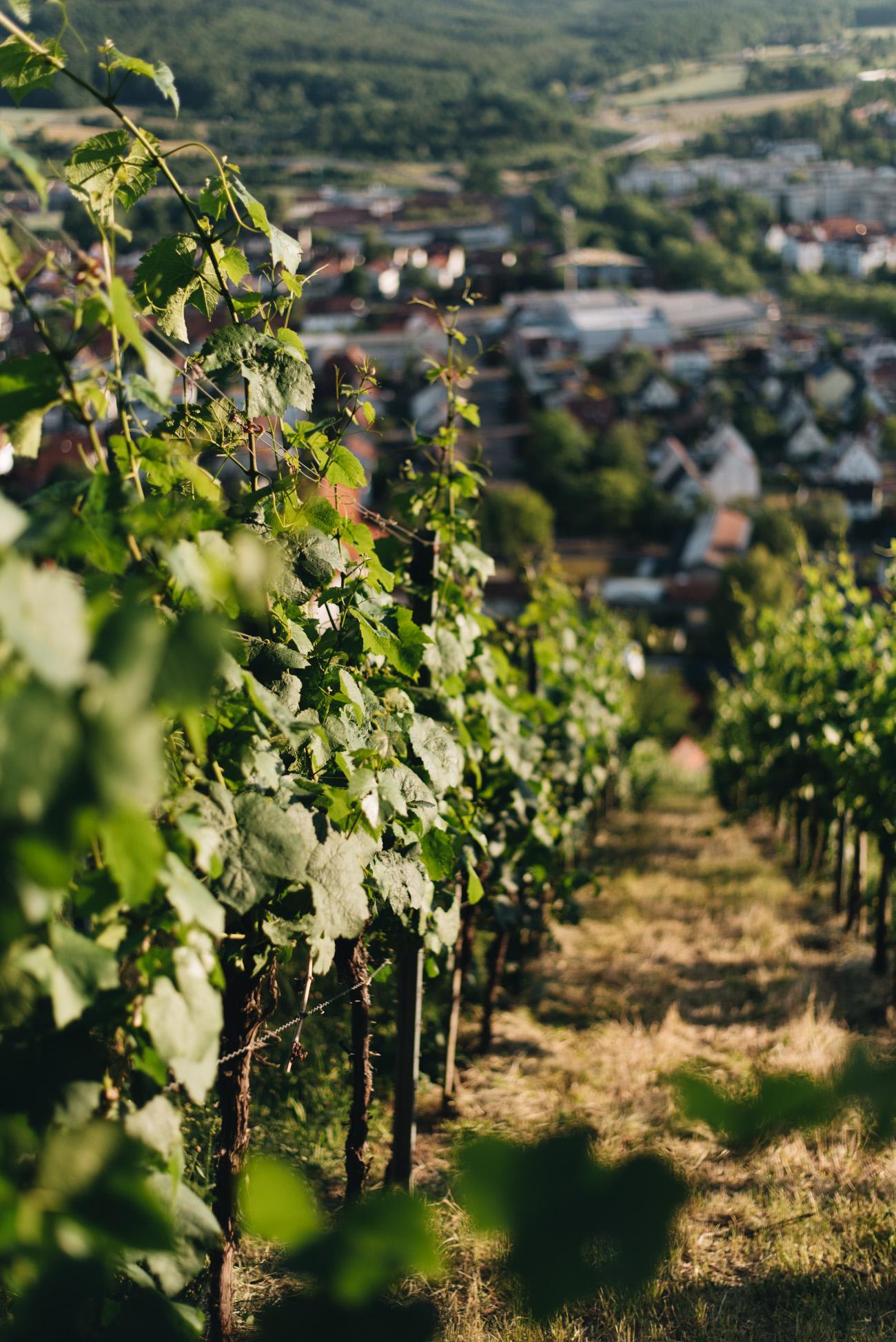 weinfelder-in-deutschland-metzingen-weinherstellung-baden-württemberg-weißwein-herstellung-fashiioncarpet