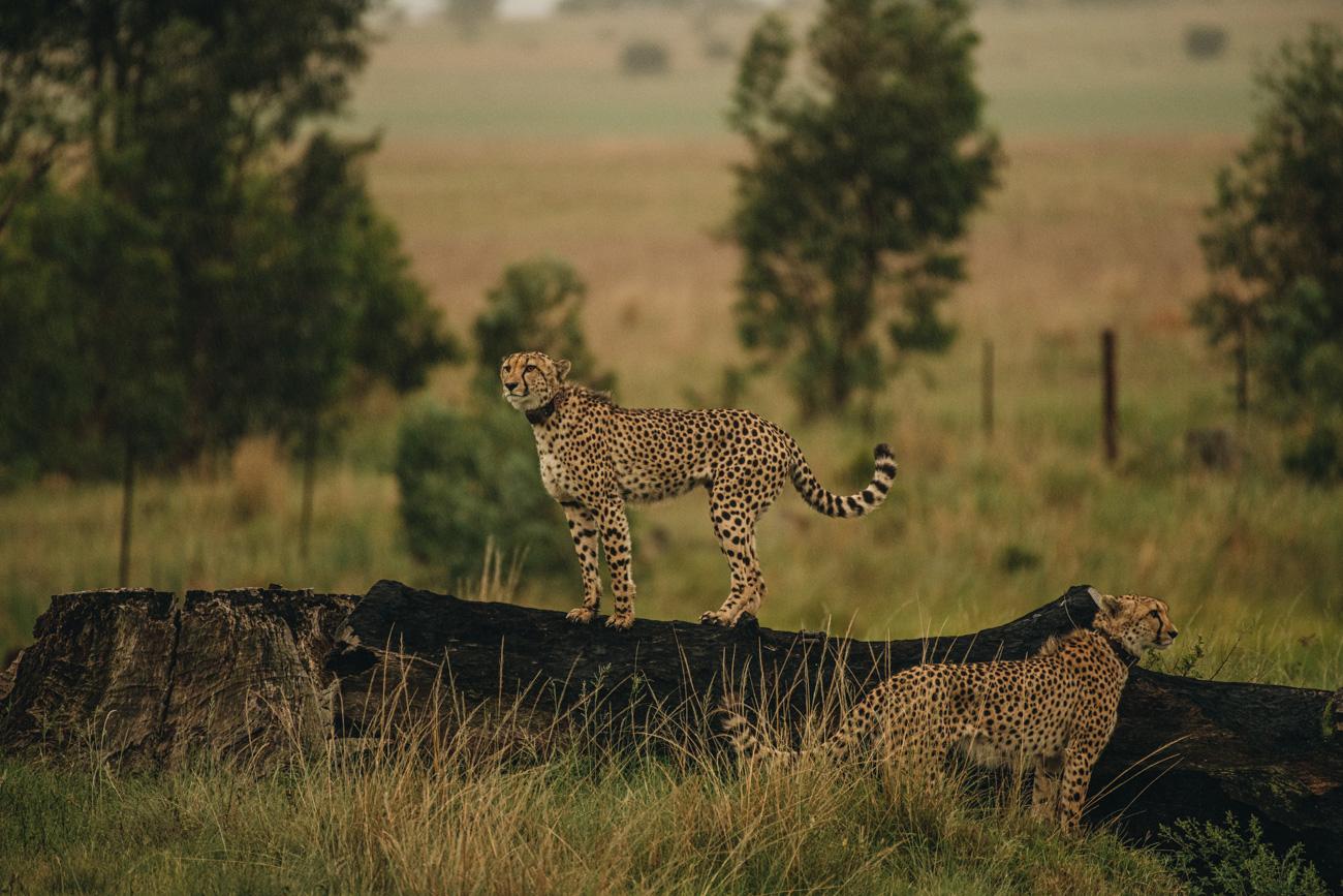 Gepard Safari Big 5