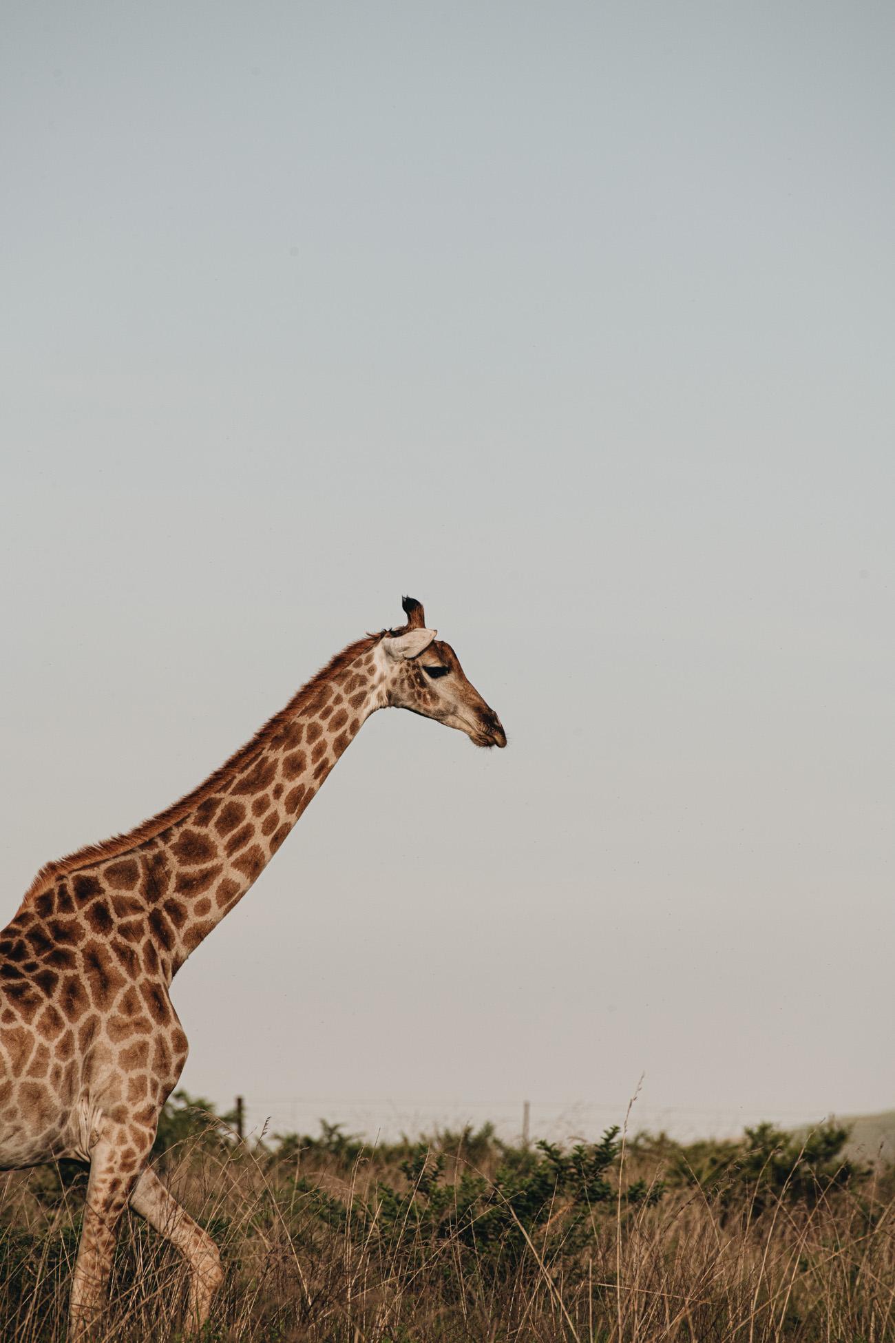 Giraffe Sonnenuntergang