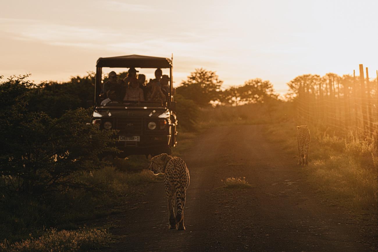 Gepard Sonneuntergang Game Drive